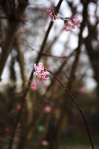 Schneeball Pflanze  Pflanzenwelt Zierpflanze Pink Nature Nature_collection Naturelovers Natur