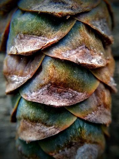 White pine cone
