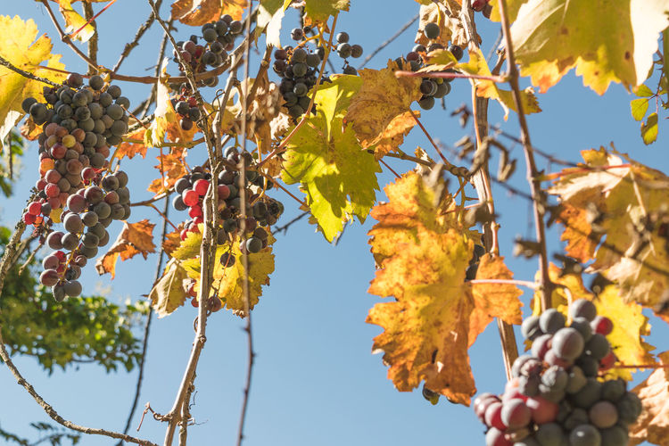 Agriculture Autumn Beauty In Nature Branch Change Clear Sky Day Fall Season Food And Drink Fruit Grapes Growth Hanging Harvest Leaf Low Angle View Nature Outdoors Produce Sky Tree Agios Ioannis Live For The Story Vinyard Organic Gardening