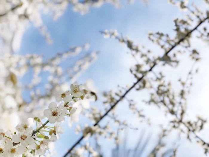 Spring Sakura Flower Sakura Blossom Japan Cherry Tree Apple Tree Flowering Plant Flower Plant Tree Fragility Growth Vulnerability  Beauty In Nature Blossom Branch Freshness Nature Springtime No People Sky Day White Color Focus On Foreground
