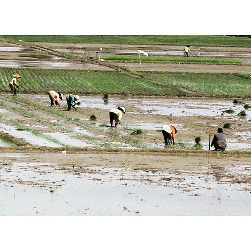 Tanam padi part 2. Ricefields Tanampadi Petani Farmer farmers riceplan plant plants