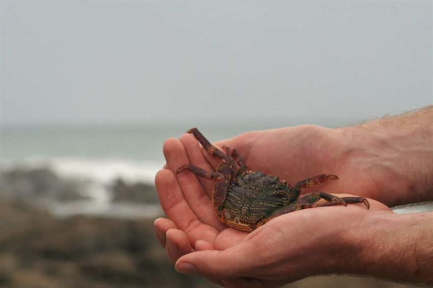 Crab Animals In The Wild Beach Close-up Focus On Foreground Holding Human Body Part Human Hand KwaZulu-Natal Coast Nature One Animal One Person Outdoors Sea Sea Life