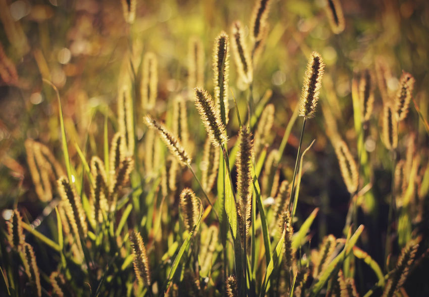 Foxtail grass in the morning sun Beautiful Grass Light Morning Light Nature Nature Photography Plant Silhouette Beauty In Nature Cereal Plant Close-up Field Fountain Grass Foxtail Foxtail Grass Green Color Growth Nature Nature_collection Plant Selective Focus Stalk Sunlight Wallpaper Yellow