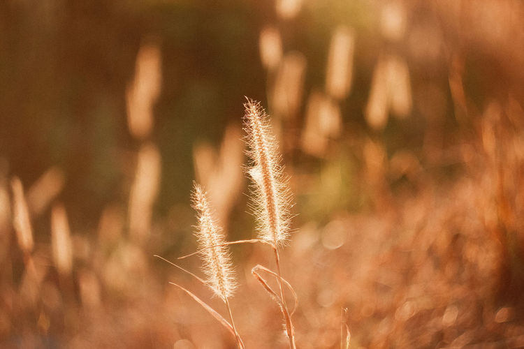 Plant Growth Beauty In Nature Nature No People Focus On Foreground Close-up Tranquility Field Sunlight Day Land Selective Focus Grass Outdoors Brown Scenics - Nature Timothy Grass Crop  Tranquil Scene Stalk