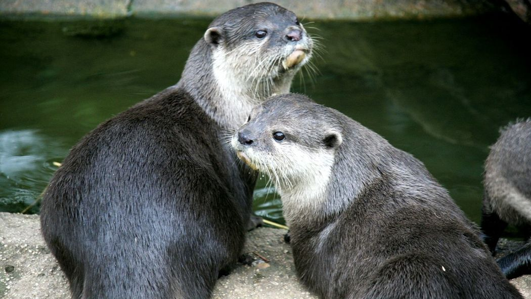 little otter Animals In The Wild Outdoors Togetherness Animal Wildlife Animal Themes Nature Popular Wildlife & Nature EyeEm Gallery Popular Photos Beauty In Nature Wildlife Photography Animals In The Wild Wildlife Otters Otter Eyeem Market EyeEm Team Canals And Waterways