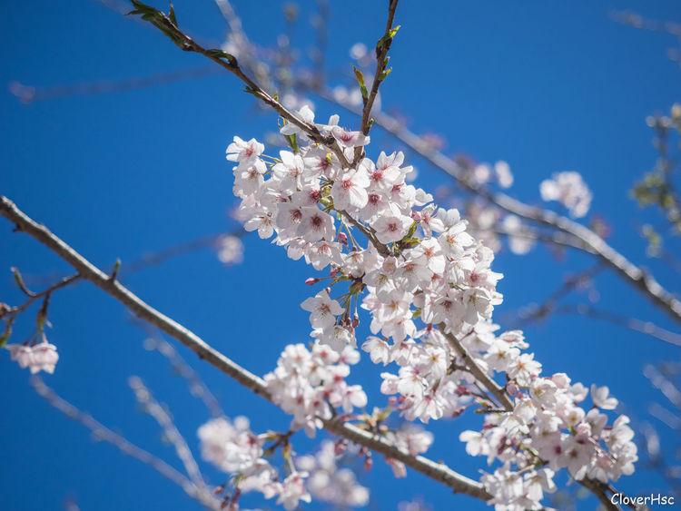 Sakura Flower Blossom Springtime Tree Nature Sky Growth No People Day Beauty In Nature Sakura Blossom Sakura Trees Alishan,Taiwan Chaiyi