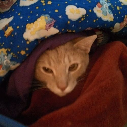 """Climbed on to my bed and straightened up the pillows and started straightening out the blankets when out popped Buttercup and almost gave me a heart attack. """"BRR mama! Thanks for turning the heat up and the heat blanket back on!!"""" Coldashelloutside Meow Snugglebug Catlady"""