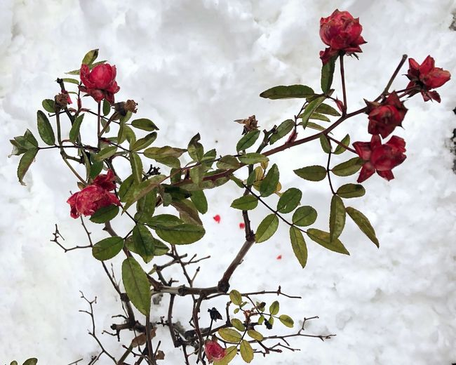 Winter rose 🌹 Snow Plant Flower Flowering Plant Beauty In Nature Freshness Nature Growth