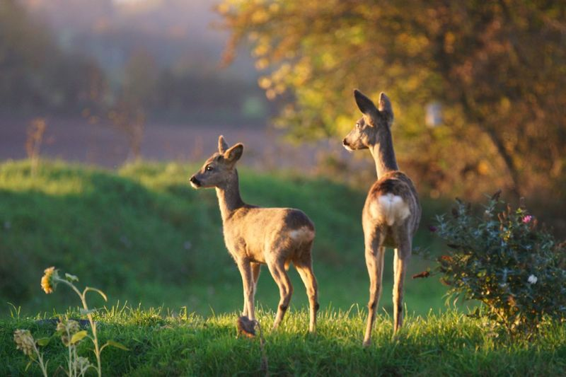 Nature Wildlife Ricke Rehkitz Bambi Deer Mammal Group Of Animals Animal Wildlife Animals In The Wild No People Grass Nature Two Animals Standing Young Animal Animal Family