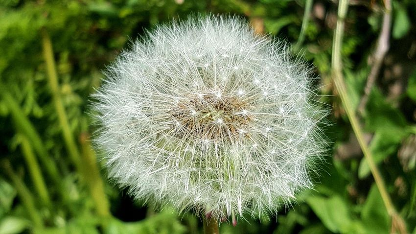EyeEm Nature Lover Medical Flower Flower Head Flower Uncultivated Dandelion Close-up Plant Dandelion Seed Wildflower Plant Life In Bloom Botany Softness