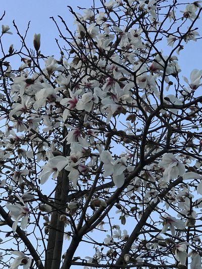 春だな❣️ Tree Growth Nature Branch Beauty In Nature Springtime Low Angle View Blossom No People Outdoors Freshness Flower Close-up Day Sky Fragility Plum Blossom Happy Japan Fukuoka Love EyeEm Best Shots EyeEm Gallery Iphone7 3月