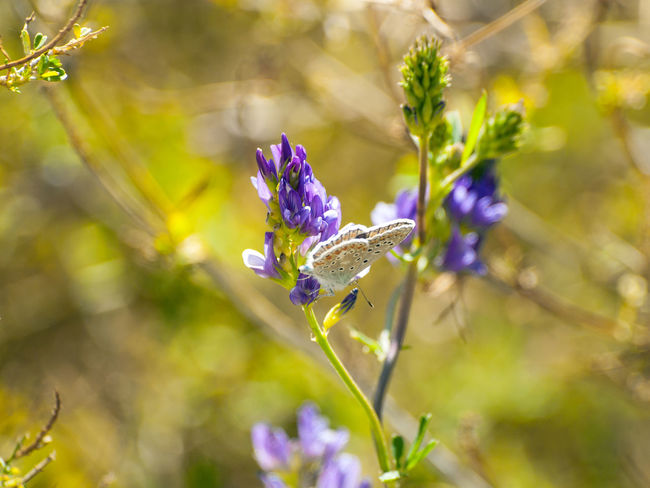 Lucerne Medicago Sativa Alfalfa Animal Themes Beauty In Nature Blooming Butterfly Butterfly - Insect Close-up Environment Flower Flower Head Fragility Freshness Growth Insect Lucerne Flower Nature One Animal Petal Plant Pollination Pollinators Spring Springtime