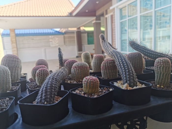 Close-up of cactus in basket on table