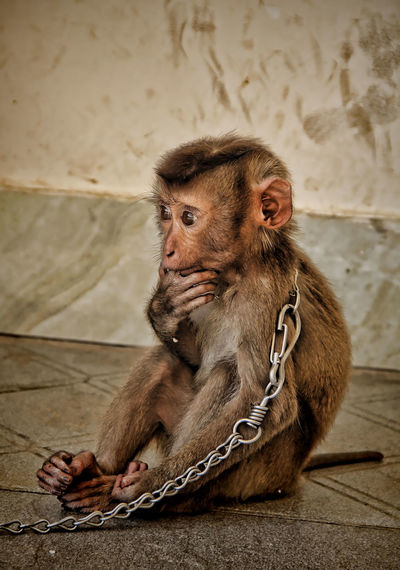 Help Chained Sad Why Prisoner Monkey Portrait Primate Looking Away Chain Looking Monkey Locked Prison Infant