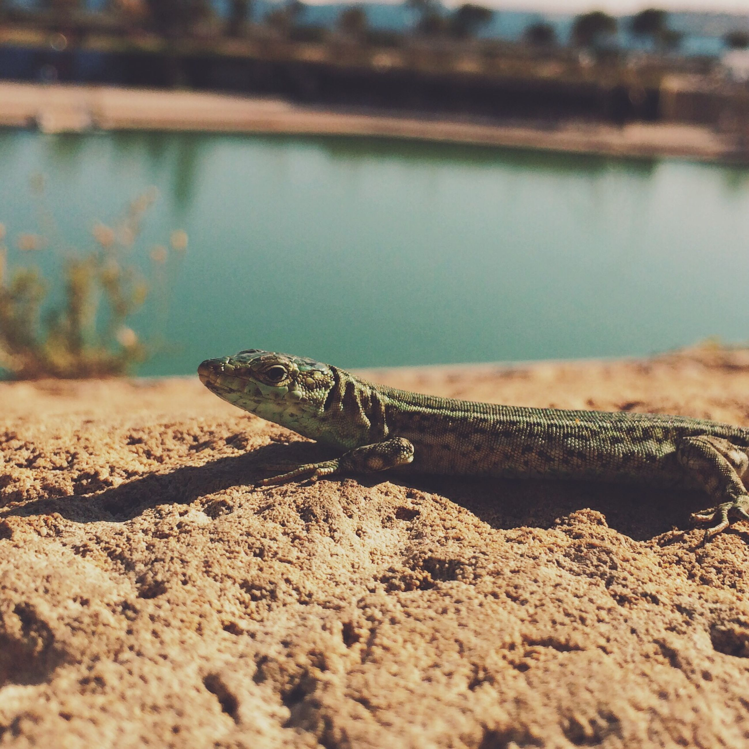 one animal, animal themes, animals in the wild, wildlife, focus on foreground, close-up, selective focus, water, beach, reptile, nature, outdoors, sand, rusty, day, sea, no people, shore, rock - object, abandoned