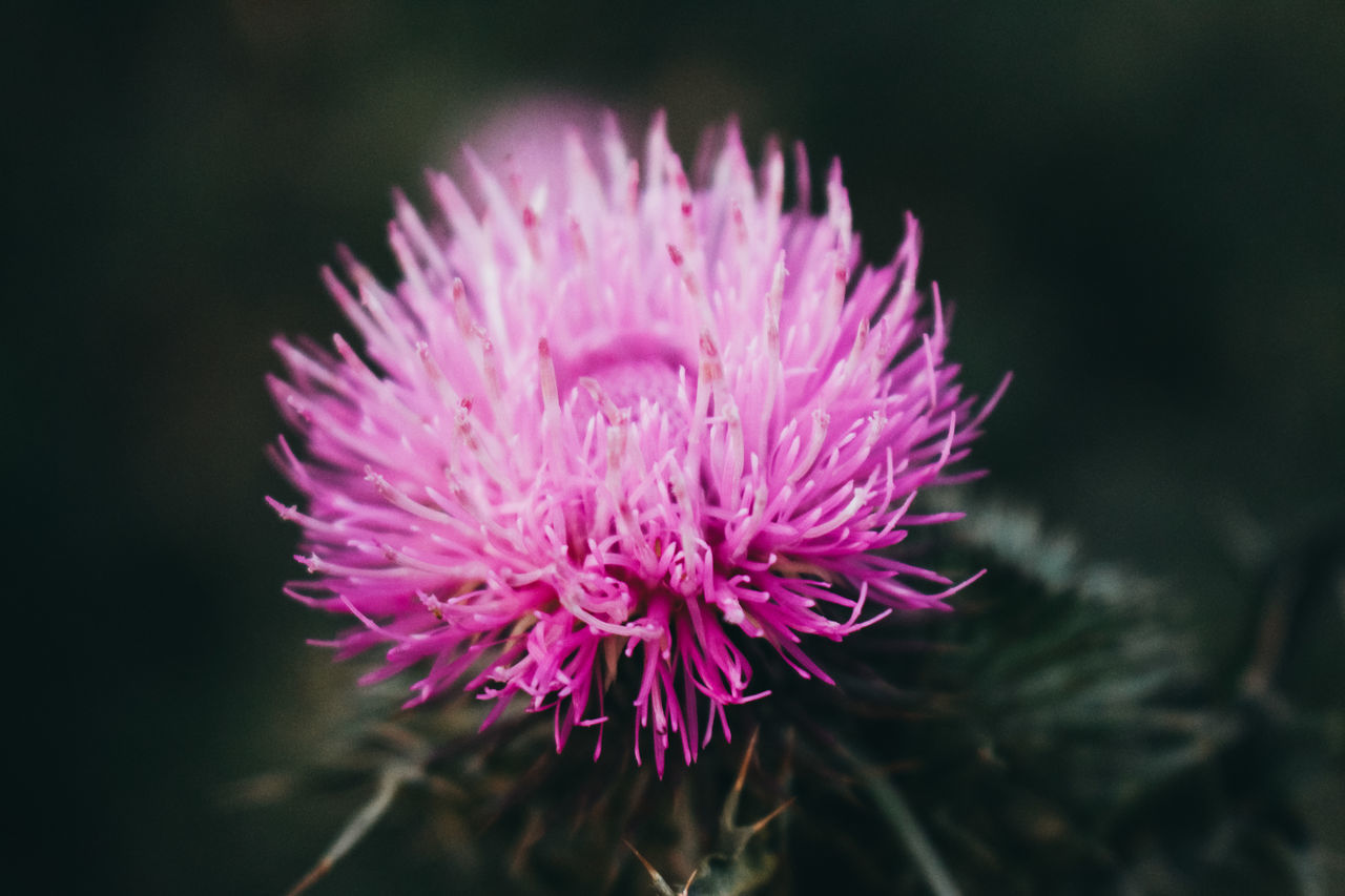 CLOSE-UP OF PINK FLOWER WITH PURPLE PETALS