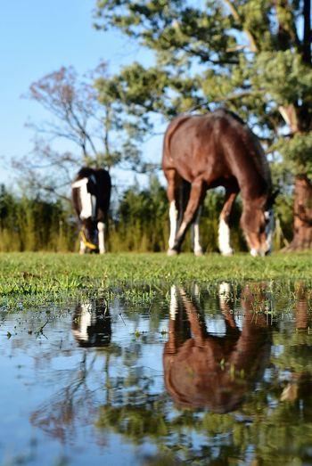 Reflection Animal Themes Horse Nikon Close-up Reflections Reflections In The Water Horse Head Horses Horse Photography  Nikor Nikor50mm Nikor18-55mm 18-55mm TheWeekOnEyeEM NikonD5500 Puddle Animal Wildlife