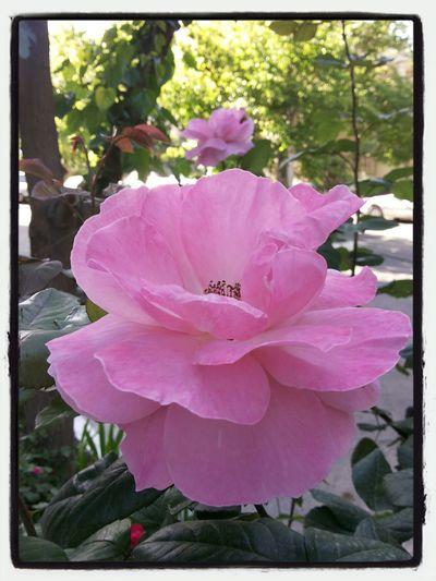 Flower Pink Rose