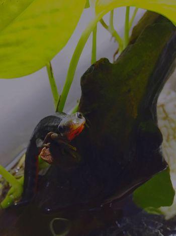 アカハライモリ 両生類 Japanese Fire Belly Newt Amphibians Newt Terrarium Plant