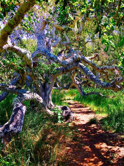 Los Osos, Ca Los Osos Rocks Beauty Scenics Tree Tree Trunk Tranquil Scene Forest Non-urban Scene Nature Beauty In Nature Landscape Tourism Travel Destinations Green Color EyeEm Best Shots Footpath Branch WoodLand Day Outdoors Fresh On Eyeem