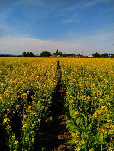 Check This Out Taking Photos Mustard Fields Yellow Flower Mustard Flower Mustard Yellow Mustard Field In Donald, Oregon