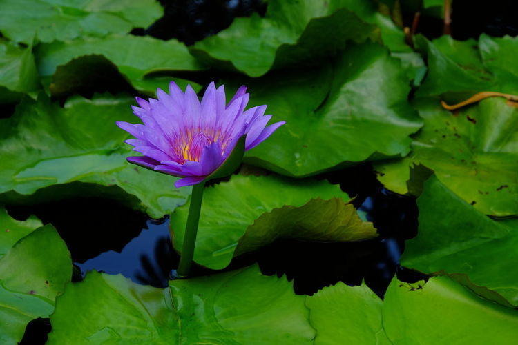 Beauty In Nature Blooming Close-up Day Floating On Water Flower Flower Head Fragility Freshness Green Color Growth Leaf Lily Pad Lotus Water Lily Nature No People Outdoors Petal Plant Purple Water Water Lily Water Plant