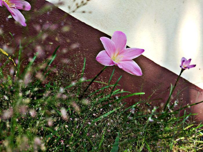 สายลมบางๆ แสงแดดอ่อนๆ Flower Head Crocus Flower Water Petal Pink Color Springtime Blossom Close-up Plant