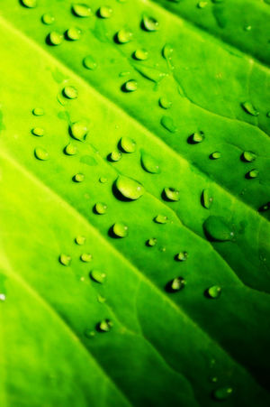Backgrounds Close-up Day Detail Drop Freshness Full Frame Green Green Color Growth Leaf Leaf Vein Leaves Natural Pattern Nature No People Pattern Selective Focus Textured  Wet Pearl Water Reflections Waterdrops Waterpearls Fresh