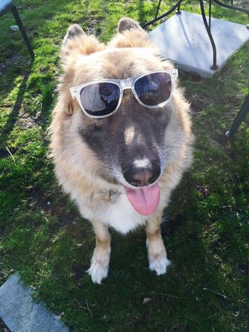 Rocky Johnson The Rock German Shepherd Germanshepard Dogs Pets Dog Kent Ohio GSD Sunglasses IPhoneography IPhone Photography Iphonephotography Iphone6plus
