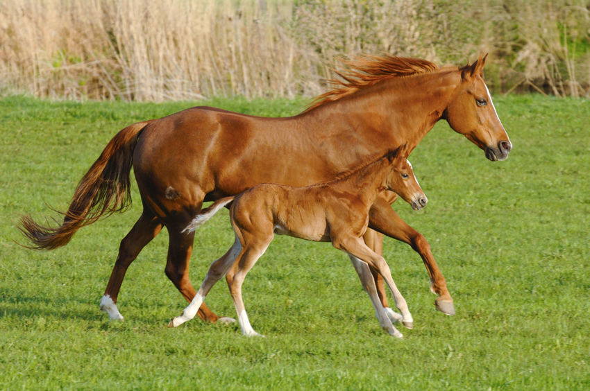 mare and foal run in perfect synchronous gallop over pasture Farm Gallop Mare Nature Pasture Run Running Simultaneous Synchronicity Domestic Animals Equestrian Field Foam Galloping Harmony Horse Livestock Mammal Meadow Motion No People Simultaneously Symmetrical Symmetry Synchronized