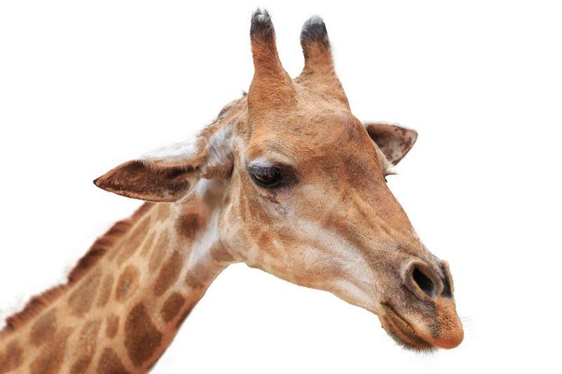 EyeEm Selects Mammal One Animal Animal Wildlife Animal Body Part Giraffe Portrait Cut Out White Background Close-up Vertebrate Animals In The Wild Domestic Animals No People Body Part Studio Shot Profile View Animal Neck Animal Eye Animal Mouth