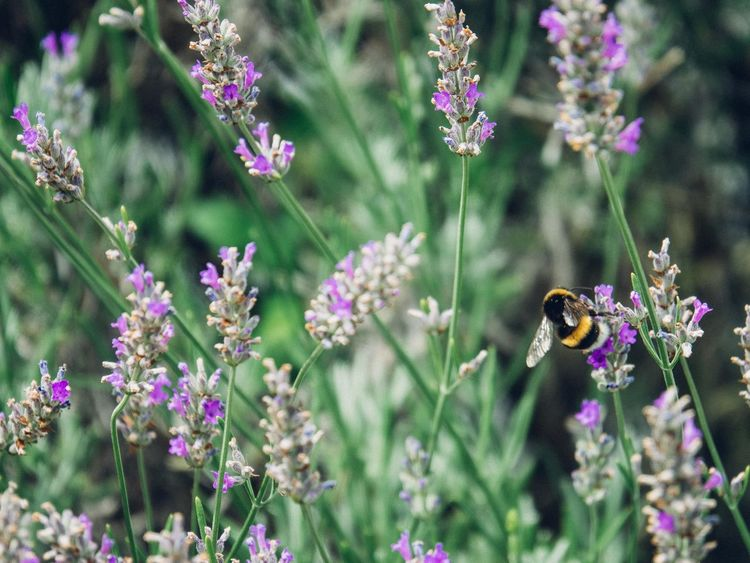 A bumblebee on lavender Bee Bee And Flower Bee On Flower Bee On Lavender Bee On The Flower Bee On The Flower 🐝 Bee 🐝 Bees Bumblebee Bumblebee Macro Bumblebee On Flower Bumblebee On Lavender Bumblebees Bumblebeesonflowers Lavanda Lavander Lavander Flowers