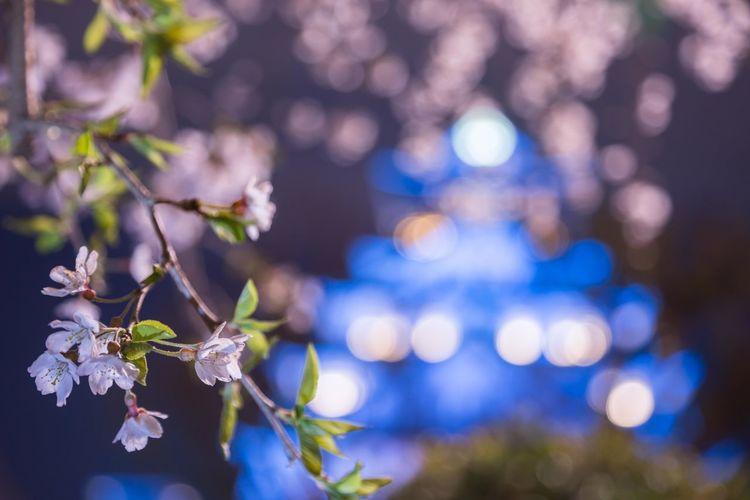 さくらと青い天守閣 Japan Photography OSAKA Japan Night Nightphotography Tree Flower Branch Illuminated Flower Head Springtime Defocused Beauty City Blue Cherry Blossom Cherry Tree Blossom Spring