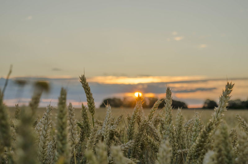 Agriculture Beauty In Nature Crop  Environment Field Growth Land Landscape Mammal Nature No People Outdoors Plant Rural Scene Scenics - Nature Selective Focus Sky Sun Sunset Tranquil Scene Tranquility