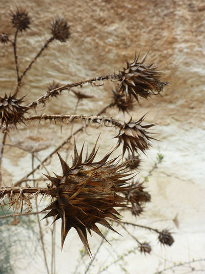 Close-up of thistle on plant against sky