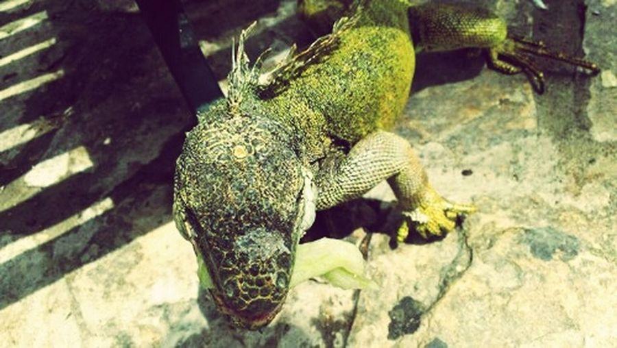 Guayaquil - Ecuador Iguanas Centenario Park