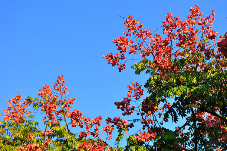 Blooming flowers, fresh and beautiful, full of vitality. Elegant Luan Tree Planting Taiwan Luan Tree Autumn Beauty In Nature Blue Branch Clear Sky Close-up Day Flower Fragility Freshness Fruit Growth Leaf Low Angle View Nature No People Outdoors Red Sky Tree Vigor