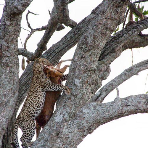Tansania Tanzania Leopard Jagd Animals In The Wild Safari Animals Climbing Animal Wildlife