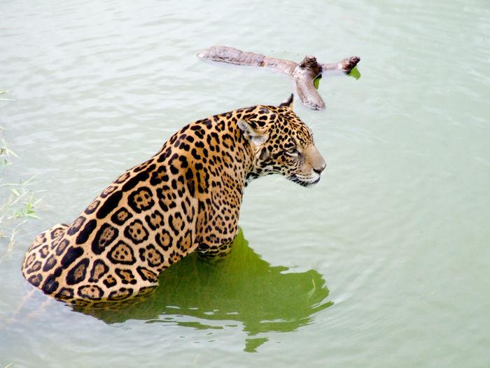 Amazaon Amazon Basin Amazonia Animal Animal Themes Beauty In Nature JAGUAR Nature No People One Animal River Riverbank Water Wildlife Wood