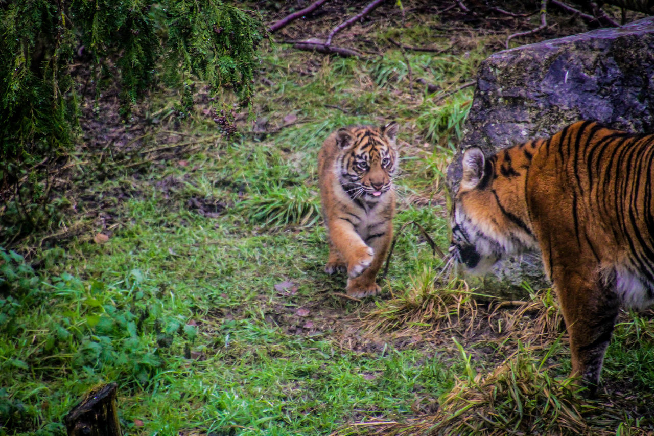 animals in the wild, animal themes, tiger, animal wildlife, nature, day, outdoors, forest, no people, grass, endangered species, mammal