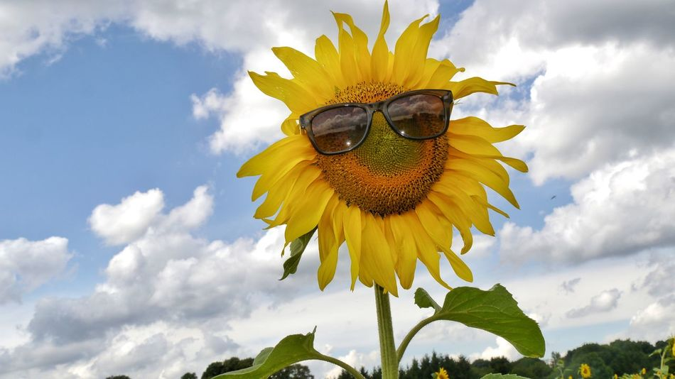 Good morning!! Ready for the sun??😁😎🌻 Flower Beauty In Nature Close-up Outdoors Nature Sunflower Summer Fragility Taking Photos EyeEm Selects EyeEm Gallery Flower Head Scenics Scenic Sky Summer Impressions Focus On Foreground Sunglasses Funny Pics Joke Of The Day Low Angle View Sunglasses On Mix Yourself A Good Time