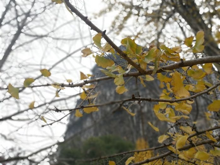 A Rainy & Windy day in Fall Tree Low Angle View Leaves Gingo Tree Cliff Outdoors Yellow Color