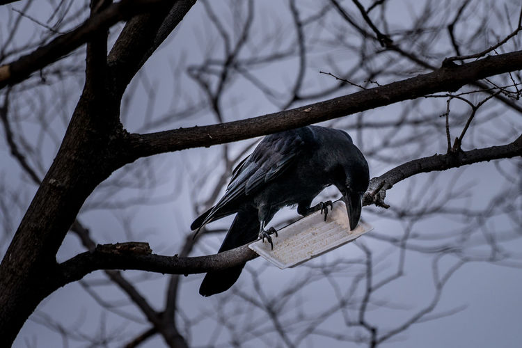 Close-up of raven with bird feeder perching on bare tree