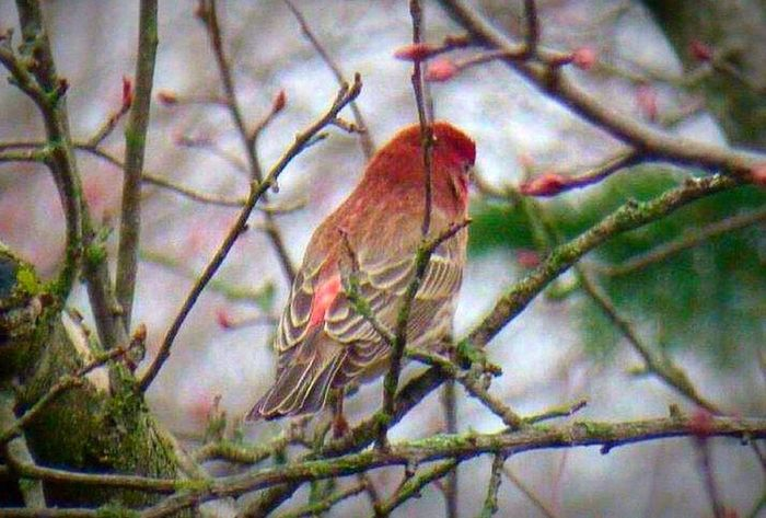 Nature Wildlife Birdwatching Bird Photography Birds Branches Color Photography House Finch