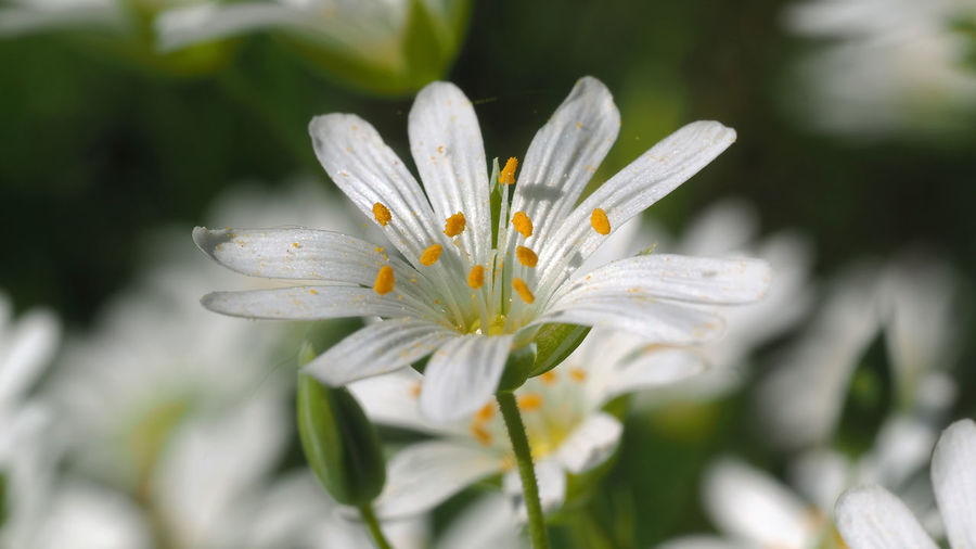 Stellaria (Sternmiere) Miere Sternmiere Beauty In Nature Close-up Day Flower Flower Head Flowering Plant Focus On Foreground Fragility Freshness Growth Inflorescence Macro Macro Nature Nature Outdoors Petal Plant Pollen Selective Focus Stamen Stellaria Vulnerability  White Color