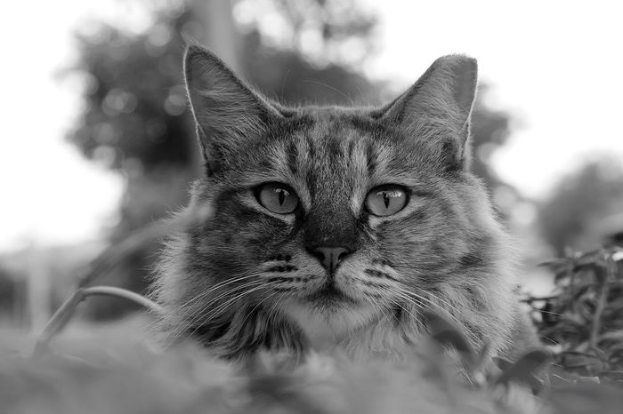 Cat Domestic Cat Close-up One Animal Domestic Animals Portrait Mammal Pets Domestic Looking At Camera Feline Animal Body Part Focus On Foreground No People Outdoors
