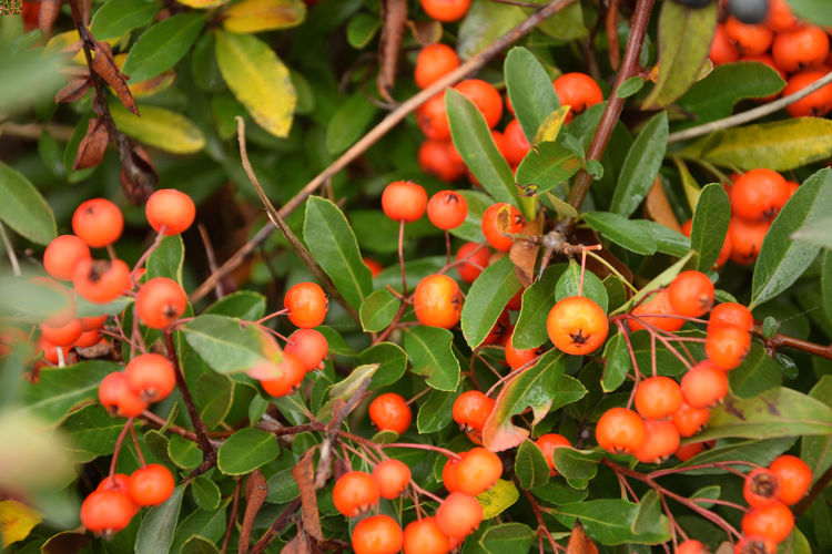 Red fruits of the cotoneaster in the autumn season Fruit Growth Plant Freshness Berry Fruit Plant Part Close-up Day Leaf Nature No People Beauty In Nature Tree Red Green Color Focus On Foreground Outdoors Ripe Cotoneaster Cotoneaster Berries Wet EyeEmNewHere