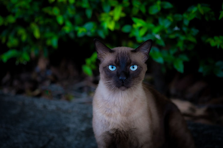 A cute thai cat in the name is siamese cat looking at the camera make a serious face.