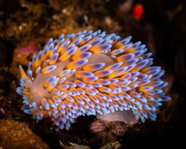 Nudibranches Underwater Sea Life Animals In The Wild Marine Sea Animal Wildlife Water UnderSea Animal Themes Invertebrate Animal No People Nature Beauty In Nature Close-up One Animal Ecosystem  Focus On Foreground