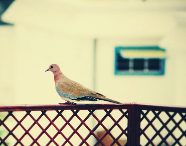 Bird Mourning Dove Animal Wildlife One Animal Animal Themes Animals In The Wild Day Perching No People Outdoors Horizontal Backgroundblur Loveforphotography Beauty In Nature Nature Bird Photography Pigeons Birds Of EyeEm  Nature_shooters Birds Of EyeEm  Nature_collection Landscape_collection EyeEmNatureLover Birds🐦⛅ Birds Wildlife Birdview Sparrow